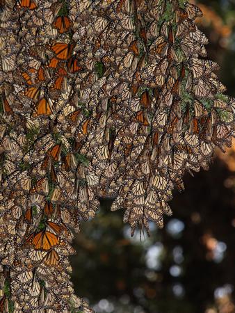 越冬地では気温が下がる夕方から翌朝10時頃まではチョウが木々を埋め尽くすようにとまる