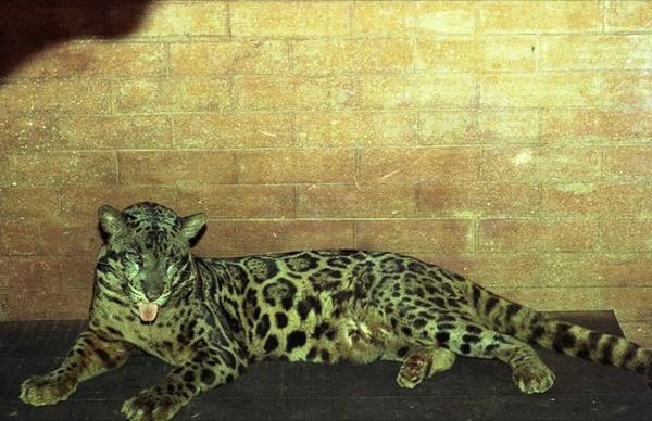 太くて長い尾。がっしりした四肢。背面の雲形模様が特徴(ジャカルタ・ラグナン動物園にて)。