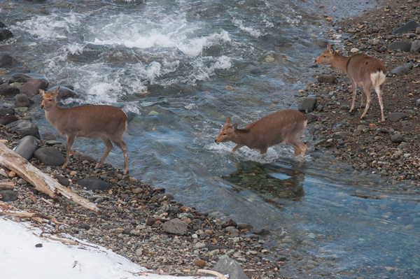 渡河するエゾシカ。 今の時期、水温は5度程度、見ているだけでぞくぞくする。 素足は厳しい‥と思うのだがシカ的にはどうか?
