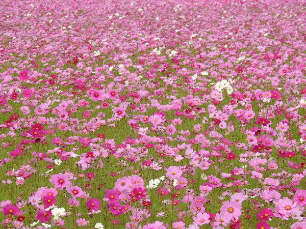 コスモスの一般的な花言葉は「乙女の純潔・美麗」など。  高知市高須(11月)