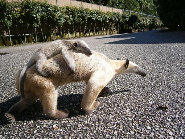 鳴子はリョクママの大好きな背中にぴったりくっついて、脱走しますね♪