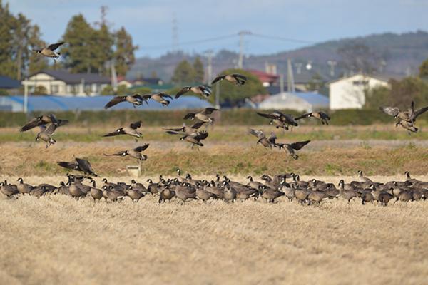 2014年1月27日 宮城県美里町北浦 600~700羽の一部