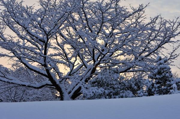 雪化粧の桜