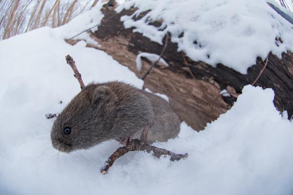 カメラにギョッとしたのか、そもそも緊張しているのか、けものっぽい表情。  体毛は細かな毛が高密度に密生し分厚いフェルトのようになっていて、低温には強く、長めの外側に突き出した毛は雪を浮かせ、雪との密着と濡れる事を防いでいる。